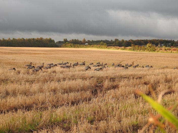 Autentic chasse - chasse des oies en ecosse