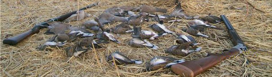 autentic chasse - chasse des tourterelles au maroc