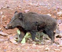 autentic chasse-sanglier maroc